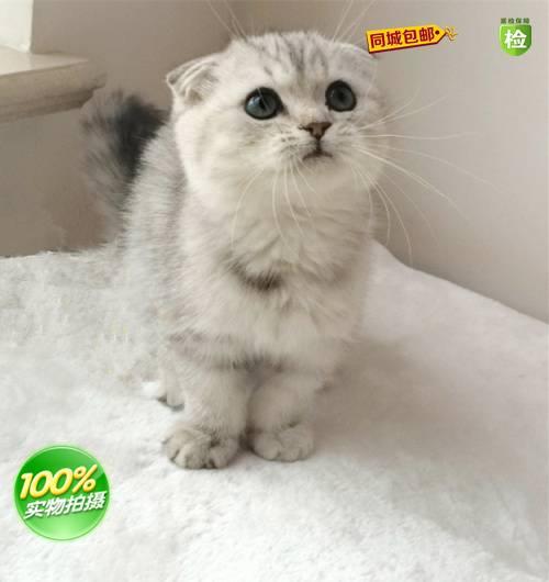 宠物猫活体 caa级银色虎斑纯种苏格兰折耳猫mm宝宝 幼崽出售