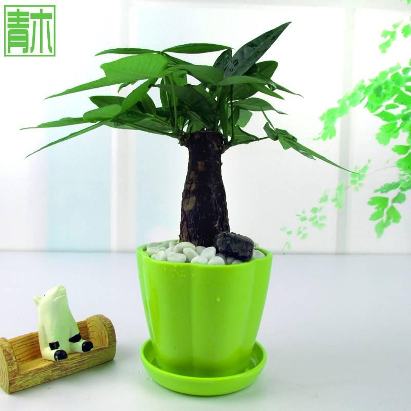 小发财树盆栽办公室内植物办公桌花卉绿植净化空气盆景绿植防辐射